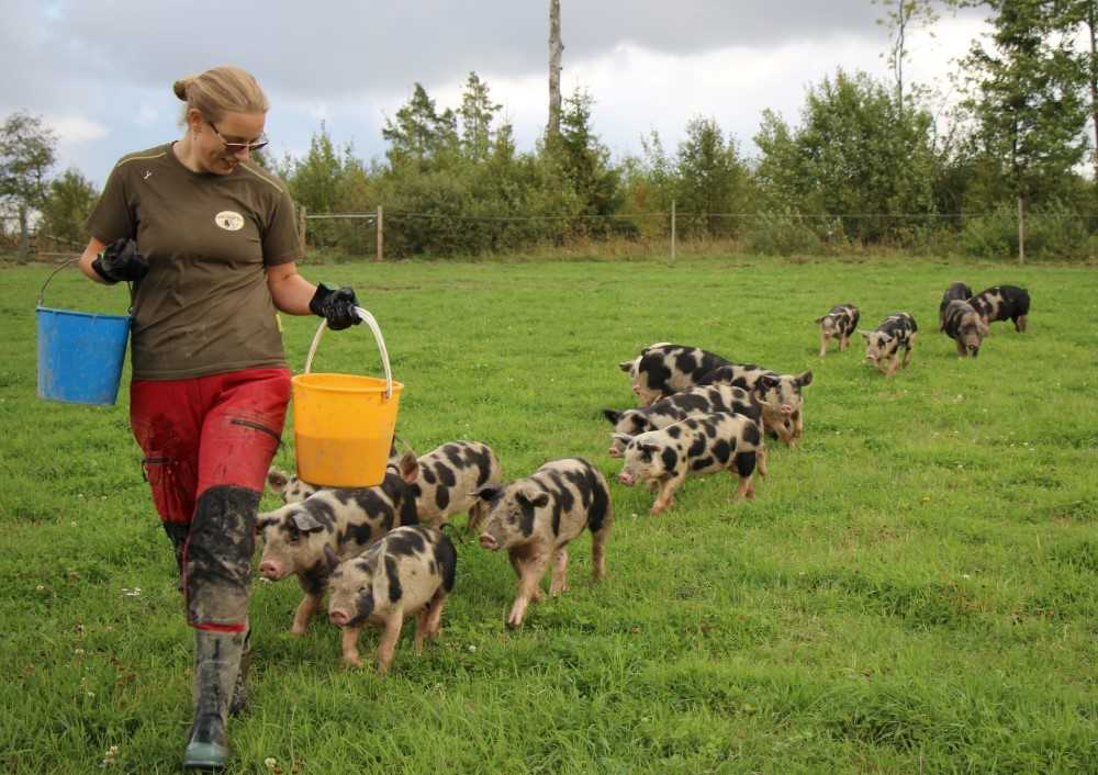 A female farmer walks in a field. She is followed by a long row of piglets.
