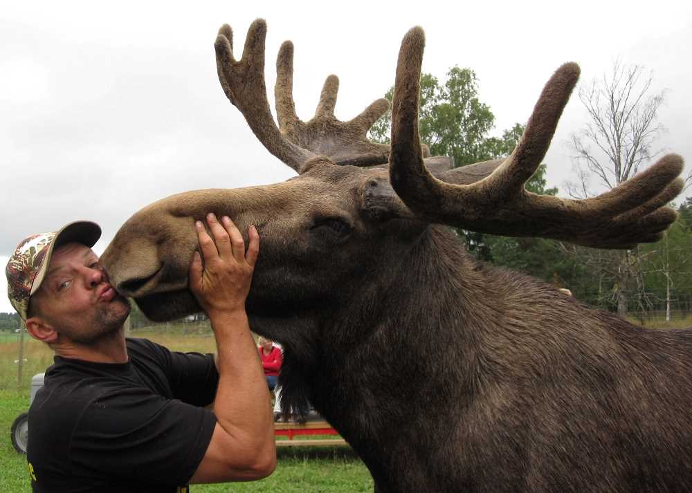 A man is kissing a large moose
