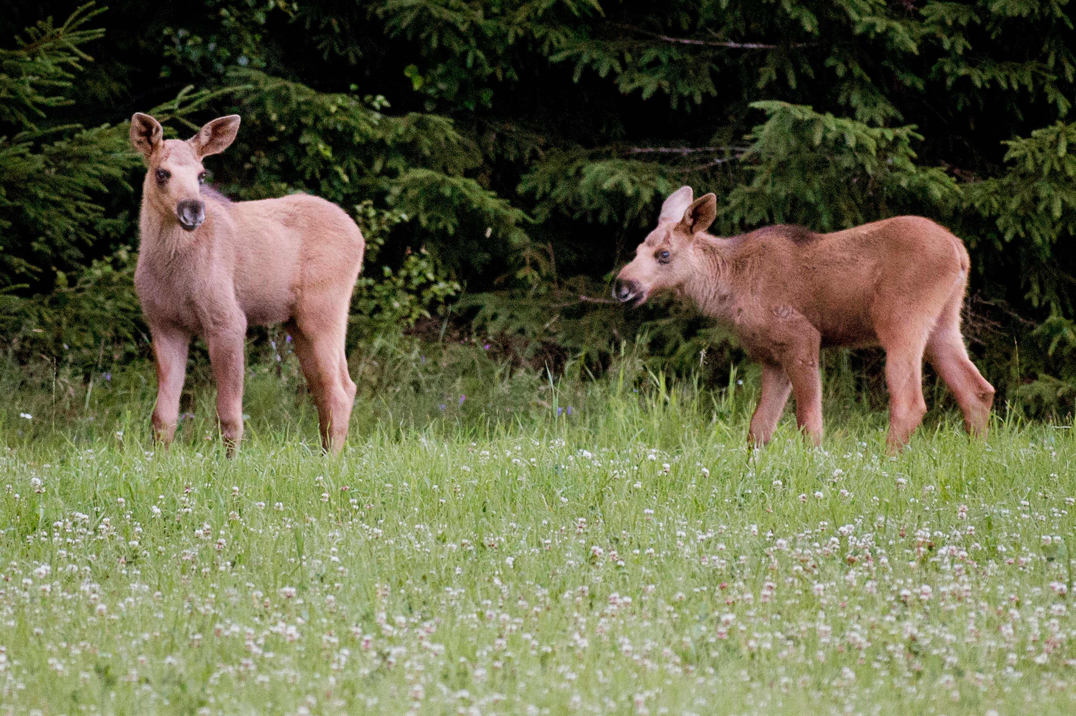 Two moose calves on a field