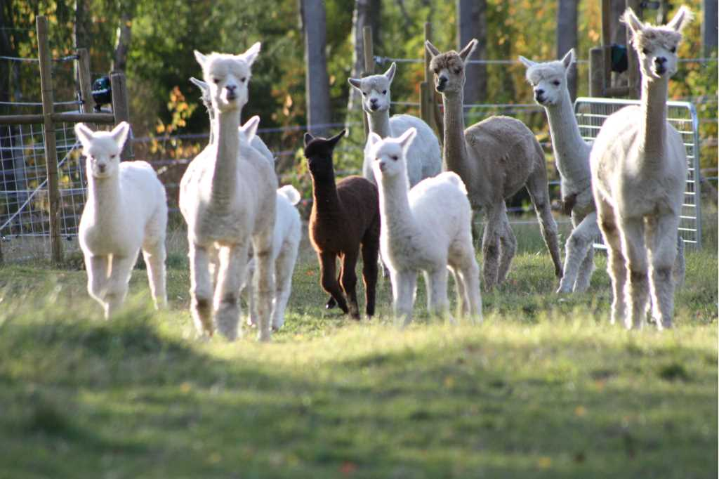 A flock of alpacas